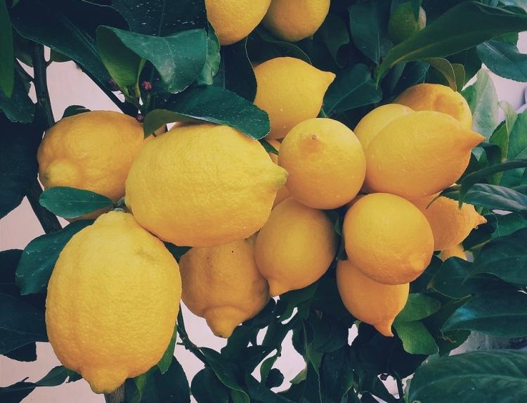 lemon-tree-801996_1280